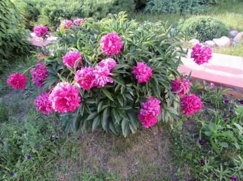 Сухостой цветы название и фото – Садовые цветы, фото и названия, цветущие многолетники и однолетники, декоративные растения, посадка и уход